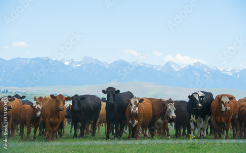 Photo Herd of beef cattle in line looking at camera on a cow ranch in Montana USA