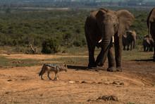 Elephants And Jackal