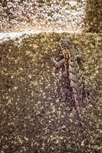 Camouflage Eastern Fence Lizard