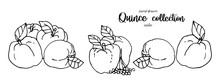 Hand Drawn Quince Sketch Style...
