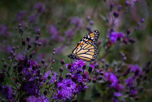 Monarch Butterfly On Purple Iron Weed Wildflowers