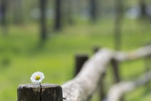 White Oxeye Daisy On The Wooden Fence Behind A Green Background