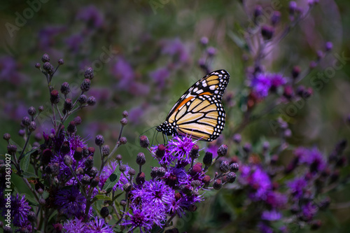Fényképezés Monarch Butterfly on Purple Iron Weed Wildflowers