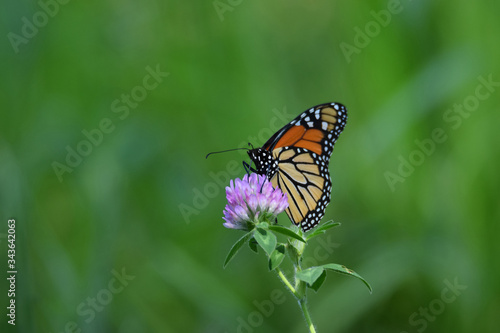 Photo Monarch Butterfly on Purple Clover Flower, Green Background