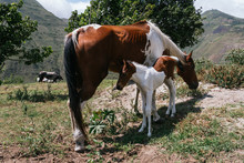 Mare And Foal, Mother And Son Pinto Horses