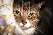 Tabby Cat With Yellow Eyes Cud...