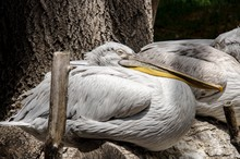Side View Of Pelicans Resting On Wood At Zoo