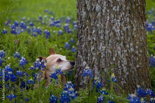 Brown Chihuahua in Bluebonnet field