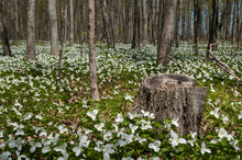 Trillium Flowers In The Forest