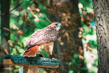 Red Tailed Hawk Landing On A Perch At The John Ball Zoo