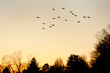 Flock of pigeons in flight at sunset