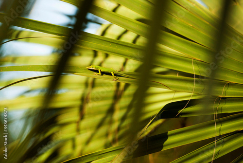 Green anole on palm frond Canvas Print
