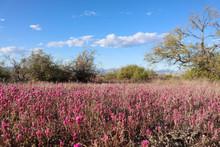 Purple Desert Flowers In Scottsdale Arizona