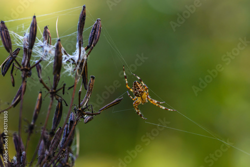 Photo Female garden-spider sitting in her nest awaiting prey