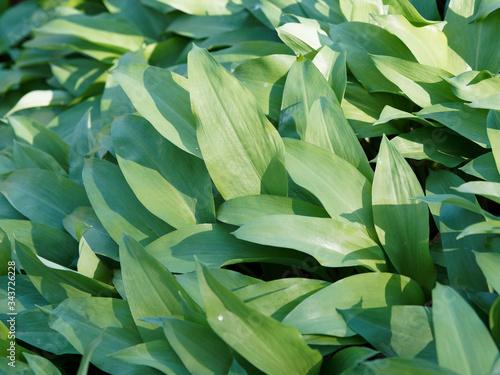 (Allium ursinum) Tapis d'ail des ours avant floraison aux grandes feuilles verte Canvas Print