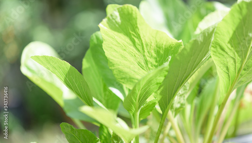 Green background,fresh green Chinese Cabbage-PAI TSAI or Brassica chinensis Jusl Canvas Print