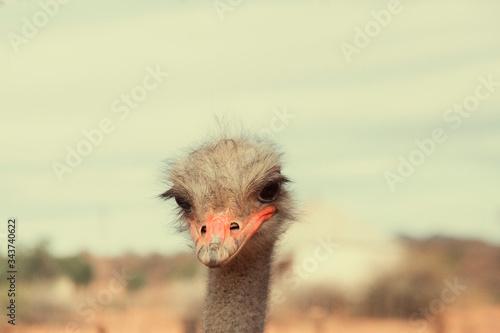 Fotografía Head of ostrich in close up