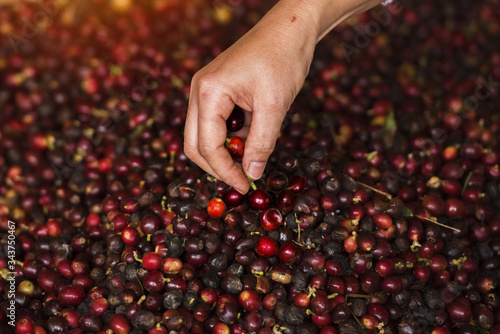 Coffee farmer selecting picking fresh red ripen arabica coffee at plantation Canvas Print