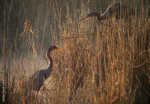 Purple Heron - Ardea purpurea - building a nest Canvas Print