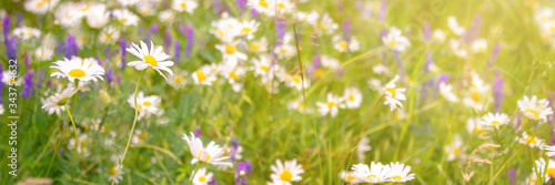 Sunshine on a field of daisy and wiild flowers, spring and summer nature panoramic background - 343754632