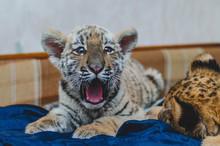 Photo Of A Yawning Tiger Cub Lying On A Sofa, Near A Blurry Head Of A Lion Cub