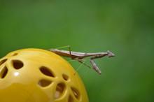 Close-up Of Brown Praying Mantis Outdoors