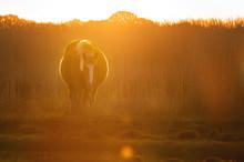 Backlit New Forest Pony Bathed...