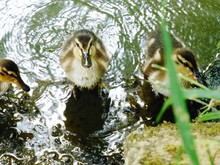 Cute Ducklings In Shallow Water