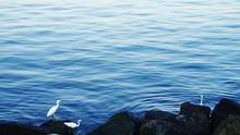 Little Egrets Perching On Rock...