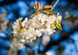 Closeup of Cherry Flower at Blossom