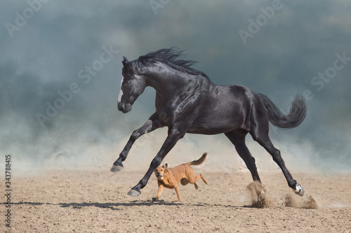 Cuadros en Lienzo Beautiful black horse with long mane run and play with dog in desert dust