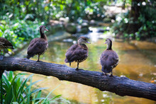 Three Ducks On A Log Above The...
