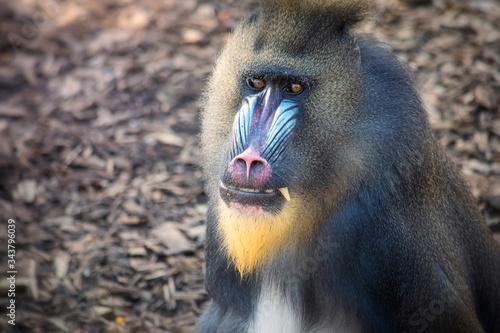 Fototapeta Closeup portrait of a large male baboon obraz
