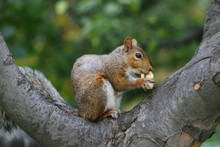 Side View Of Squirrel Eating P...