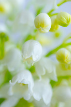 Lily Of The Valley Close-up, D...