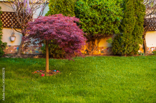 Red foliage of the weeping Laceleaf Japanese Maple tree (Acer palmatum) in garde Canvas Print