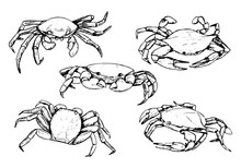 Collection Of Crabs Isolated In White. Hand Drawn Vector Illustration. Realistic Black Ink Sketches Of Sea Wild Animals. Set Of Vintage Graphic Design Elements For Poster, Print, Postcard, Stickers.