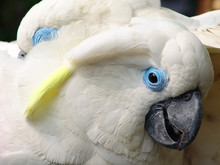 Close-up Of Blue-eyed Cockatoo