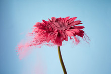 Flower With Pink Powder On Blu...