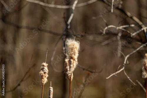 The broadleaf cattail,bulrush, common bulrush, common cattail, great reedmace, cooper's reed, native plant species in America Slika na platnu