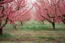 Panorama Of A Peach Garden In The Rain, Cloudy Weather, Blurred Background. The Concept Of Serenity, Calmness. Full Size. Space For Text. High Quality Photo. Backgraund