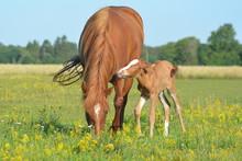 Little Horse Foal Enjoying Sun...