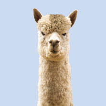 Funny Angry-looking Alpaca On ...