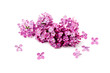 Beautiful blossoming lilac on white background. Space for text
