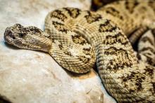 Close-up Of Prairie Rattlesnak...