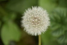 Close-up Of A Dandelion Seedhead In Spring