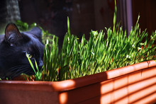 Cat Eats Green Grass On Window, Domestic Black Panther