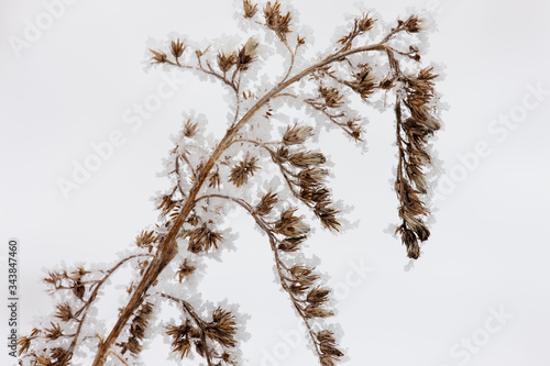 Goldenrod with heavy frost, contrast against the white snow on the ground Wallpaper Mural