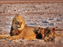 Relaxed Lion With Cub