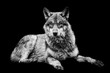 Grey wolf with a black Background in B&W